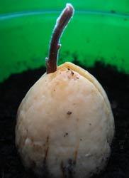 Sprouting avocado pit